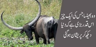A strange buffalo with strange horns...